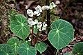 Begonia sp.-0695 - Flickr - Ragnhild & Neil Crawford.jpg