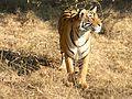 Bengal Tiger14.jpg