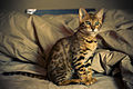 Bengal cat, 12 weeks old (2308642374).jpg