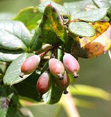 220px-Berberis_aristata_fruit.jpg