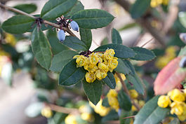 Berberis julianae fleurs fruits.jpg