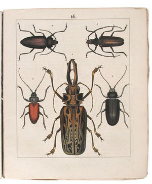 Friedrich Berge - Plate from Kaferbuch which depicts 1315 illustrations of beetles