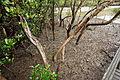 Berowra Mangroves (3400959097).jpg