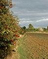 Berries on a hedgerow near Grandborough - geograph.org.uk - 1493349.jpg