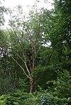 Betula-albosinensis-habit