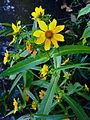 Bidens laevis - Bur Marigold.jpg