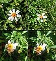 Bidens pilosa (Asteraceae).jpg