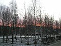 Birch rising (берёзовый восход) - panoramio.jpg