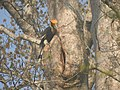 Bird Great Hornbill Buceros bicornis at nest DSCN9018 08.jpg