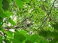 Bird White throated Brown Hornbill Anorrhinus austeni IMG 8142 10.jpg
