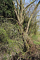 Birds Green, Essex, England - tree over stream 125 yds south from T-junction.jpg