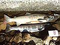 Biwa Trout(Lake Biwa-JP).jpg