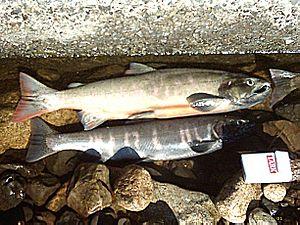 Biwa trout (or Biwa salmon), Oncorhynchus masou rhodurus