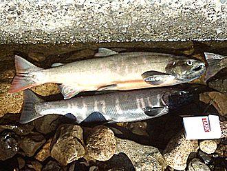 Biwa trout - Image: Biwa Trout(Lake Biwa JP)