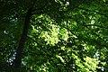 Blätterdach (112477829).jpeg