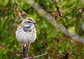 Blåhake Bluethroat (20341914802).jpg