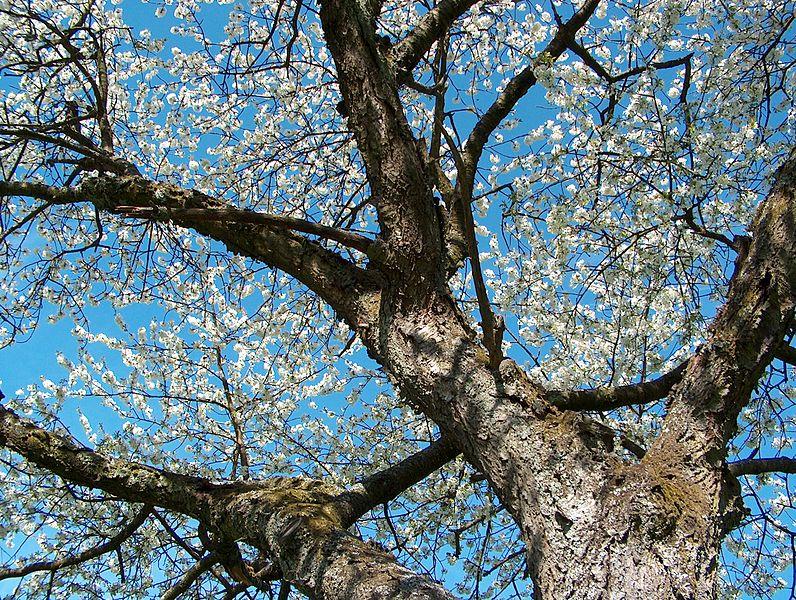 File:Blühender Kirschbaum im Frühling.jpg