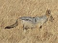 Black-backed Jackal Canis mesomelas in Tanzania 3505 cropped Nevit.jpg