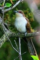 Black-billed-cuckoo.jpg