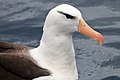 Black-browed Albatross (25375062463).jpg