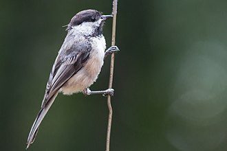 Black-capped chickadee - Black-capped chickadee clinging to a wire.