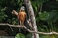 Black-collared Hawk - Darién - Panama (48444147001).jpg