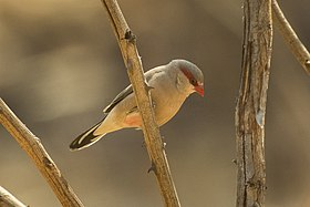 Black-rumped Waxbill - Gambia 17 CD5A1688 (31806634704).jpg