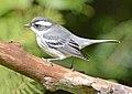 Black-throated Gray Warbler 4053.jpg