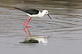 Black-winged Stilt, Common Stilt, or Pied Stilt, Himantopus himantopus at Borakalalo National Park, South Africa (9937761143).jpg