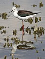 Black-winged Stilt, Common Stilt, or Pied Stilt, Himantopus himantopus at Marievale Nature Reserve, Gauteng, South Africa (23472538956).jpg