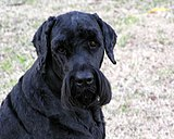 Black Russian Terrier Image 001.jpg