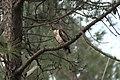 Black kite (Milvus migrans) D35 7751 01.jpg