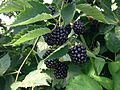 Blackberries near Erlangen 3.jpg