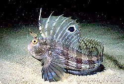 Blennie ocellée, en Méditerranée, dans le détroit de Messine, sur le fond marin. Elle a redressé sa nageoire dorsale pour impressionner un ennemi, ce qui permet de bien voir la tache noire en forme d'œil qui lui a valu son nom.