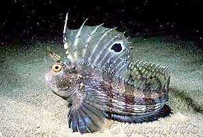 Seeschmetterling (Blennius ocellaris)