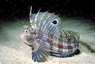 Pisces in the 10th edition of Systema Naturae - The butterfly blenny was named Blennius ocellaris in 1758.