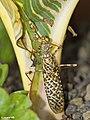 Blepharopsis mendica Devils Flower Mantis (6985894980).jpg