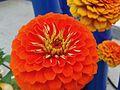Blooming marigold.jpg