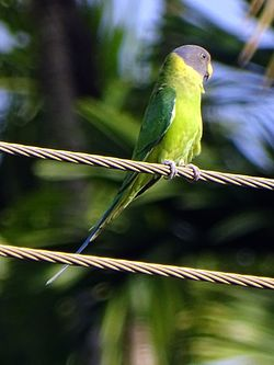 Blossom-headed parakeet.jpg