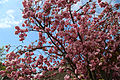 Blossoming tree detail at north of village green at Matching Green, Essex, England 02.jpg