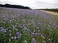 Blue-flowered crop of Scorpion weed (Phacelia tanacetifolia) - geograph.org.uk - 1427167.jpg