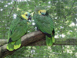 Blue-fronted amazon parrot 31l07.JPG