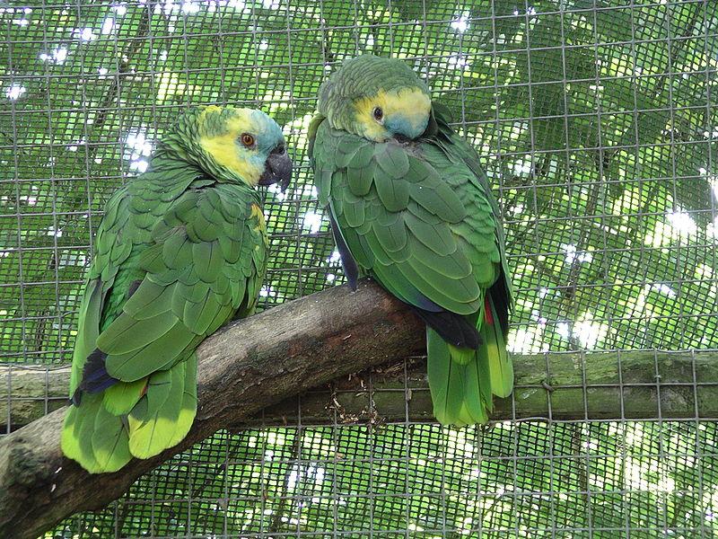 Amazon Parrots ببغاوات الأمازون  800px-Blue-fronted_amazon_parrot_31l07