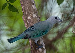 Blue-grey Tanager, Thraupis episcopus 2.jpg