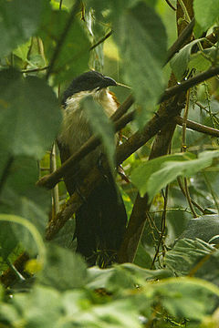 Blue-headed Coucal - Kakum NP - Ghana 14 S4E2473 (16018020917).jpg