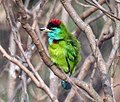 Blue-throated Barbet (Megalaima asiatica)- Preening at Kolkata I IMG 2360.jpg