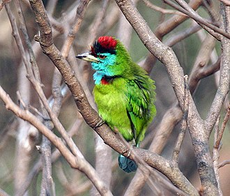 Blue-throated barbet - Image: Blue throated Barbet (Megalaima asiatica) Preening at Kolkata I IMG 2360