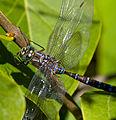 Blue Dragonfly 2 (7974348643).jpg