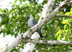 Blue Ground-dove 2496236152.jpg