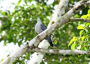 Description de l'image Blue Ground-dove 2496236152.jpg.